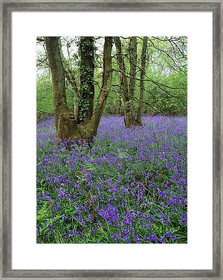 Hyacinthoides Nonscriptus. Framed Print by Bob Gibbons