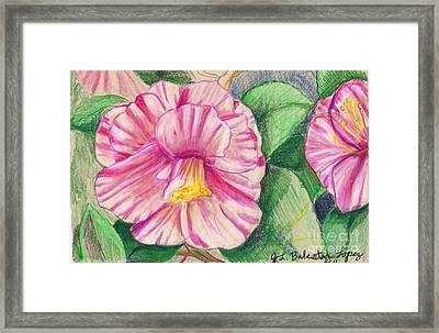 Hybiscus Pink And White Framed Print by Jamey Balester
