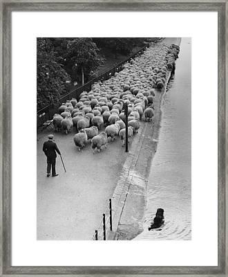 Hyde Park Sheep Framed Print by G W Hales