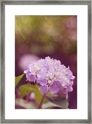 Hydrangea Framed Print by Amy Tyler