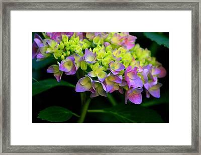 Hydrangea Beauty Framed Print by Valia Bradshaw