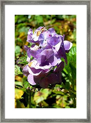 Hydrangea Bloom Framed Print by Beverly Hammond
