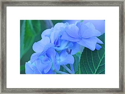 Hydrangea Blue Framed Print by Becky Lodes