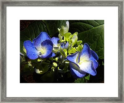 Hydrangea Duo Framed Print