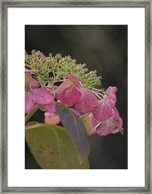 Framed Print featuring the photograph Hydrangea by Lisa Missenda