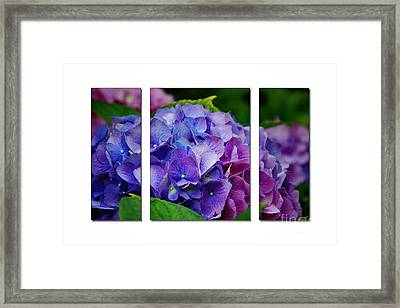Hydrangea Shades Of Blue And Pink Framed Print