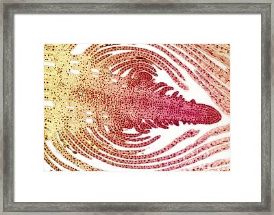 Hydrilla Bud, Light Micrograph Framed Print by Steve Gschmeissner