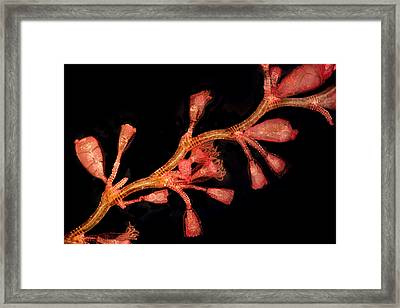 Hydroid (campanularia Flexuosa), Lm Framed Print by Dr Keith Wheeler