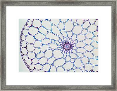Hydrophyte Stem And Aerenchyma Framed Print by M. I. Walker