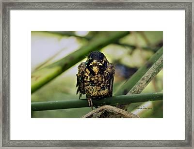 I Hate My Life - American Robin Framed Print by James Ahn