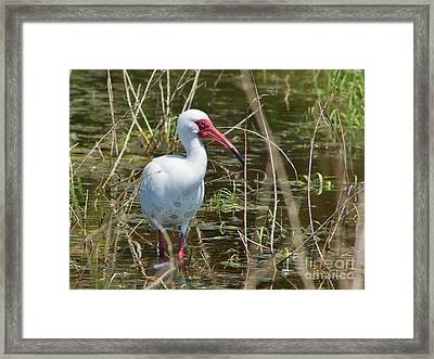 Ibis At Local Pond Framed Print