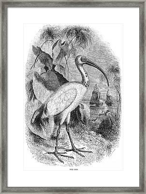 Ibis Framed Print by Granger
