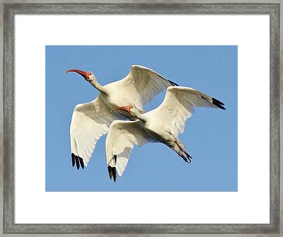 Ibis In Flight Framed Print by Paulette Thomas