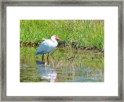Ibis Looks Up Framed Print