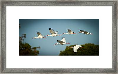 Ibis On The Move Framed Print by Andres Leon