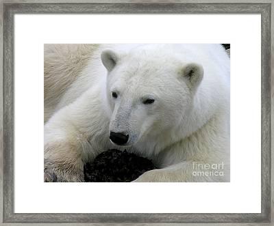 Ice Bear Framed Print by Anne Gordon