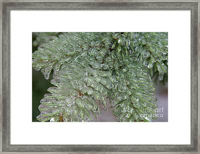 Ice-coated Norway Spruce Framed Print by Ted Kinsman
