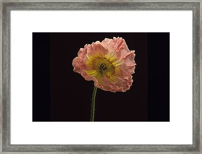 Framed Print featuring the photograph Iceland Poppy 3 by Susan Rovira