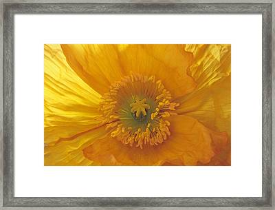 Framed Print featuring the photograph Iceland Poppy 4 by Susan Rovira
