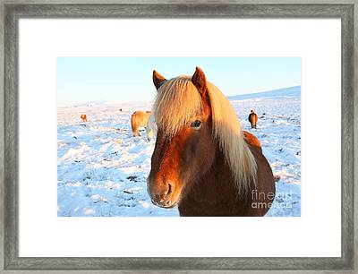 Framed Print featuring the photograph Icelandic Horse by Milena Boeva