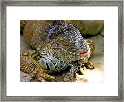 Iguana Iguana Framed Print by Anne Gordon