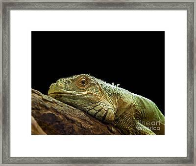Iguana Framed Print by Jane Rix