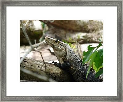 Iguana Framed Print by Juan Francisco Zeledon