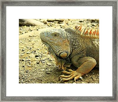 Framed Print featuring the photograph Iguana by Nick Mares