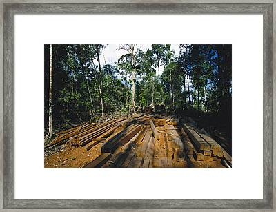 Illegal Logging Site, Felled Trees Framed Print by Tim Laman