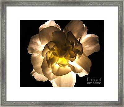 Illuminated White Carnation Photograph Framed Print