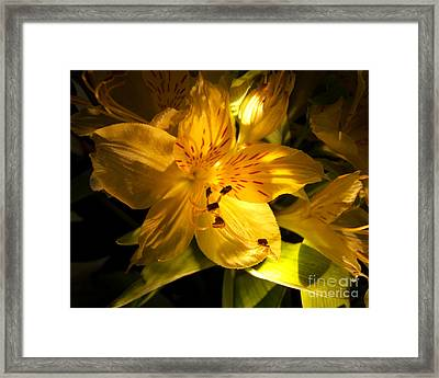 Illuminated Yellow Alstromeria Photograph Framed Print
