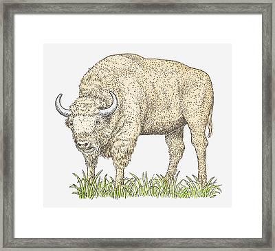 Illustration Of A Bison Framed Print by Dorling Kindersley