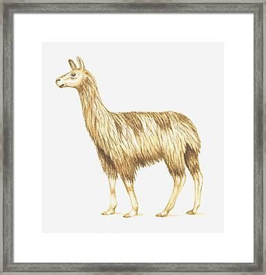 Illustration Of A Llama Framed Print by Dorling Kindersley