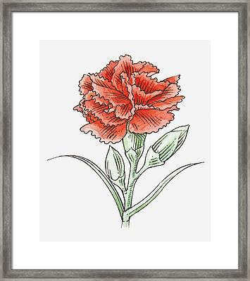 Illustration Of A Red Carnation Framed Print