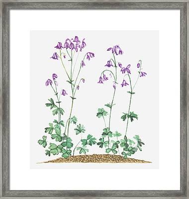 Illustration Of Aquilegia Vulgaris (columbine), Purple Nodding Flowers Framed Print