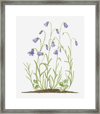 Illustration Of Campanula Rotundifolia (harebell) Bearing Violet-blue Bell-shaped Flowers On Long, Thin Stems Framed Print