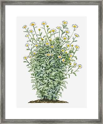 Illustration Of Chrysanthemum Coronarium (edible Chrysanthemum) Bearing Daisy-like White Flowers And Lobed Green Leaves On Tall Stems Framed Print