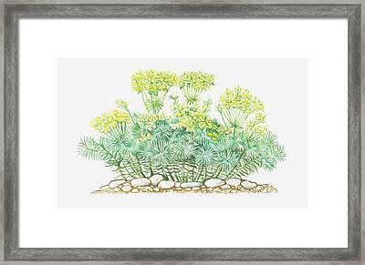 Illustration Of Euphorbia Cyparissias (cypress Spurge), Yellow Flowers Framed Print