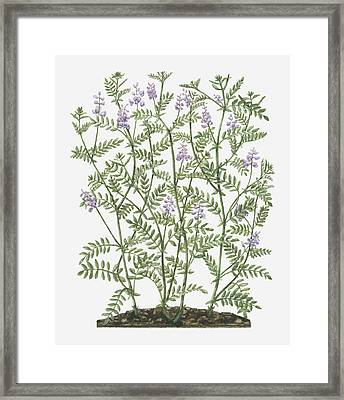 Illustration Of Galega Officinalis (goat's Rue) With Lilac Flowers On Tall Stems With Small Leaves Framed Print