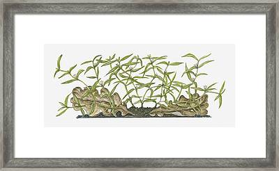 Illustration Of Hedyotis Diffusa (spreading Hedyotis) Bearing Tiny White Flowers And Green Leaves On Spreading Stems Growing Close To Ground Near Decaying Brown Leaves Framed Print