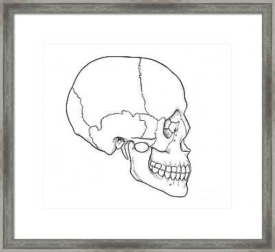 Illustration Of Human Skull Framed Print by Science Source