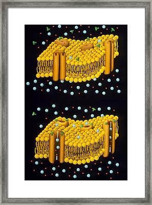 Illustration Of Ion Chanels In Plasma Membrane Framed Print by Francis Leroy, Biocosmos