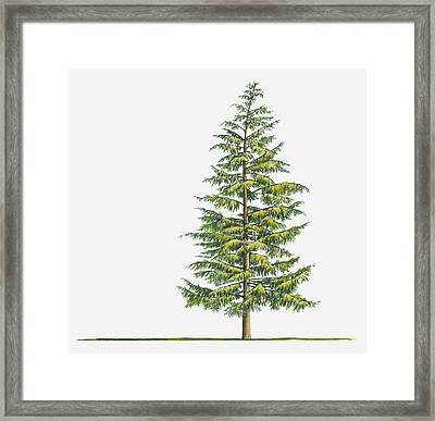 Illustration Of Large Evergreen Tsuga Heterophylla (western Hemlock) Tree Framed Print