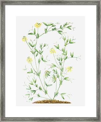 Illustration Of Lathyrus Pratensis (meadow Vetchling), Leaves And Yellow Flowers On Slender Stems Framed Print