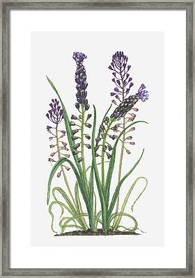 Illustration Of Leopoldia Comosa Syn Muscari Comosum (tassel Hyacinth) Bearing Violet-blue Flowers And Buds On Tall Stems And Long Green Leaves Framed Print by Barbara Walker