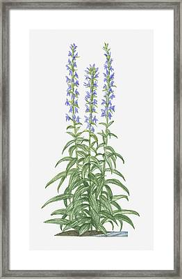 Illustration Of Lobelia Siphilitica (great Blue Lobelia) Bearing Spikes Of Purple Flowers On Tall Stems With Green Leaves Below Framed Print