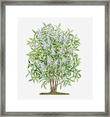Illustration Of Nandina Domestica (sacred Bamboo) Evergreen Shrub With Conical Clusters Of White Flowers Framed Print