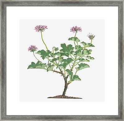 Illustration Of Pelargonium Capitatum (rose-scented Pelargonium) Bearing Clusters Of Pink Flowers On Long Stems With Green Leaves Below Framed Print