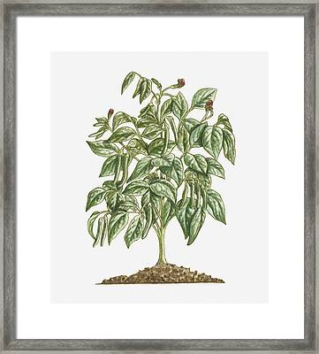 Illustration Of Phaseolus Vulgaris (french Bean) Bearing Purple Flowers And Green Pods With Green Leaves On Erect Bush Framed Print