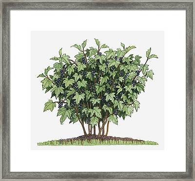 Illustration Of Ribes Nigrum (blackcurrant) Bearing Edible Fruits On Long Upright Stems With Green Leaves Framed Print by Dorling Kindersley